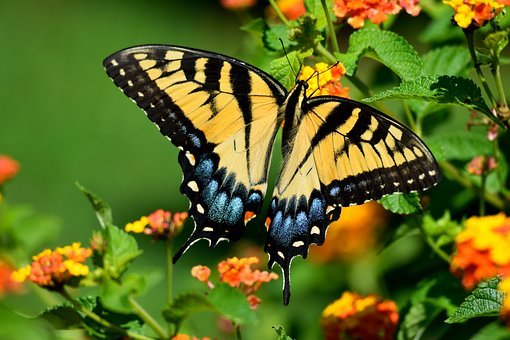 Tiger Swallowtail Butterfly, Butterfly, Insect, Vibrant
