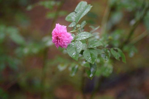 Kerala, Greenery, Flowers, Nature, Rose
