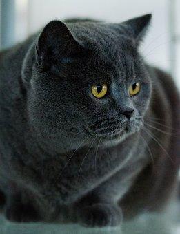 Cat, Pet, Domestic Cat, Animal, Kitten, Fur, Cat Face