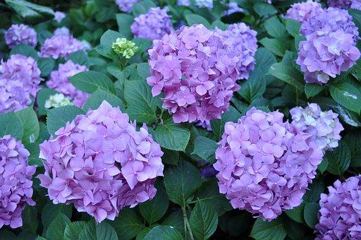 Hydrangea, Blossom, Flower, Lavender, Plant, Garden