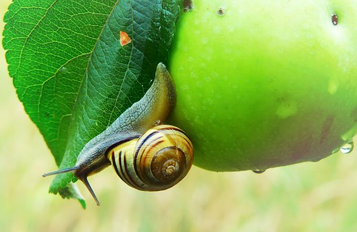 Wstężyk Huntsman, Snail, Molluscs, Apple, Leaf, Rain