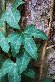 Ivy, Leaves, Nature, Plant, Climber Plant, Ivy Leaf