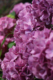 Lilac, Blossom, Bloom, Nature, Summer, Plant, Garden