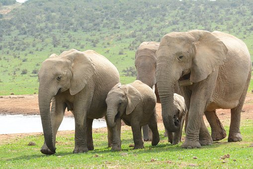 Elephant, Mammals, Wildlife, Africa, Bigfive, Trunks