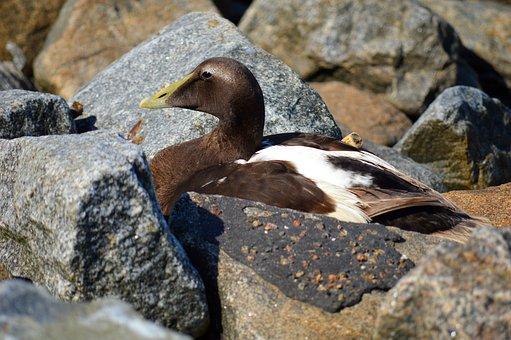 Wild Bird, Duck, Stones, Nature Reserve, Meldorfer Port