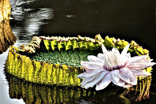 Giant Water Lily, Water, Water Surface, Mirroring