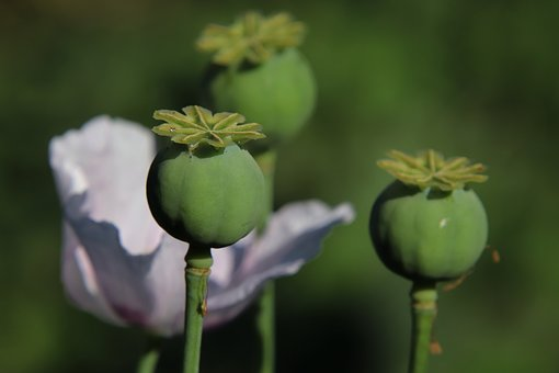 Poppy, Poppy Butt, Piston, Nature, Summer, Mohngewaechs