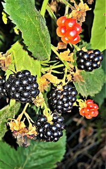 Blackberries, Bramble, Kink, Wildwachsend, Nature