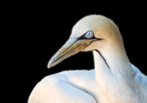 Cape Gannet, Gannet, Bird, Animal, Heron, White, Nature