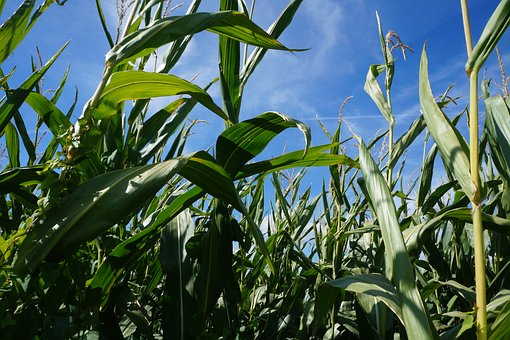 Corn, Agriculture, Harvest, Field, Nature, Summer
