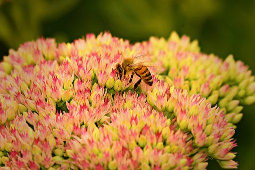 Bee, Insect, Animal, Pollination, Honey, Nectar, Pollen