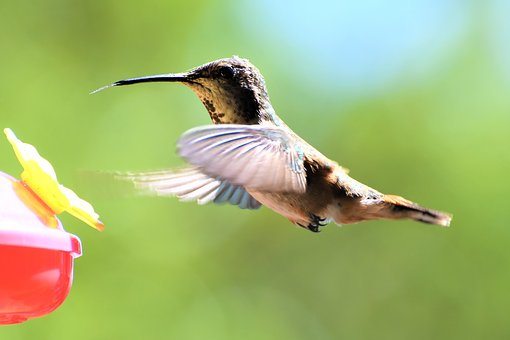 Hummingbird, Feeding, Garden, Flight, Bird, Nectar