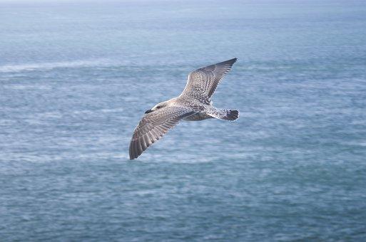 Bird, Sea, Ocean, Gull