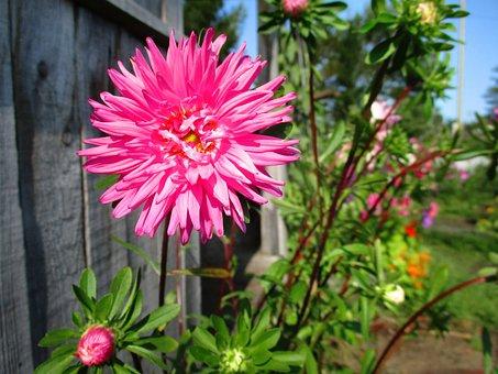 Astra, Flower, Pink, Petals, Bright, Summer, Autumn