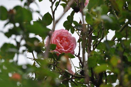 Pink Rose, Flower, Rose, Green Leafs