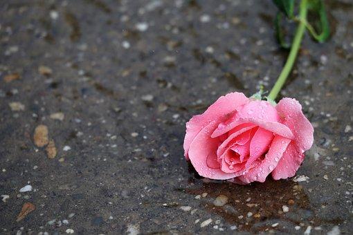 Pink Rose Papillon, In Water, Wet, Rain, Drops, Flower