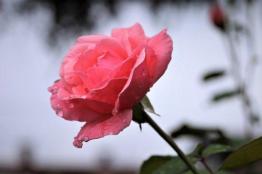 Pink Rose, After Rain, Flower, Drops, Wet, Water