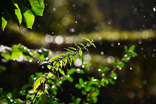 Stinging Nettle, Plant, Leaves, Rain Drops, Moisture