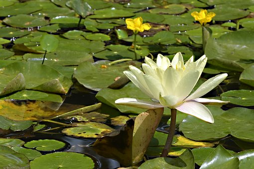 Water Lily, Nature, Pond, Plant, Water, Aquatic Plant