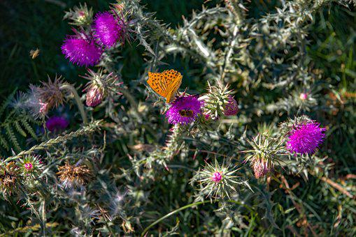Flower, Thistle, Plant, Thorny, Purple, Rose, Butterfly
