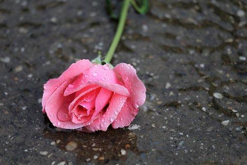 Pink Rose, In Water, Wet, Drops, Rain, Flower, Summer