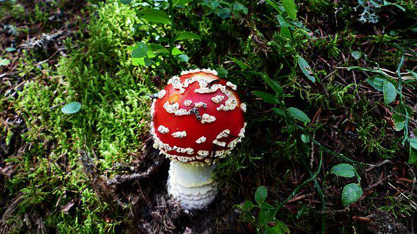 Fungus, Forest, Nature, Toxic, Fall, Foam, Red