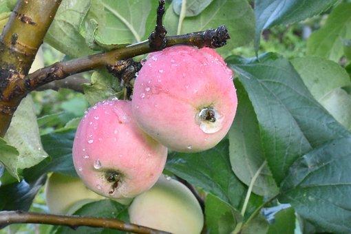 Apples, Ripe, Drops, Rain, Siberia, Nutrition, Healthy