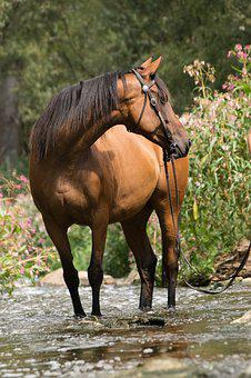 Horse, River, Water, Bach, Swim, Brown, Animal, Bridle