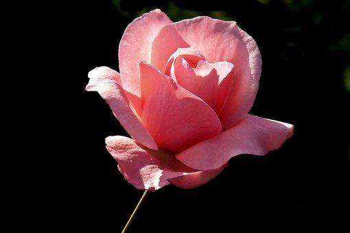 Flower, Rose, Pink, Romantic, Beauty, Garden, Love