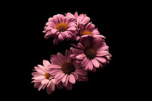 Flower, Rosa, Stem, Black, Pink, Nature, Natural