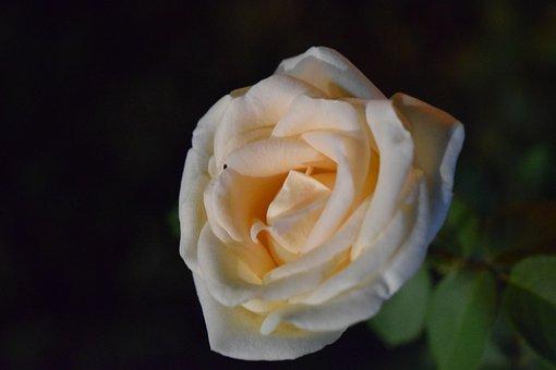 Rose, Macro, Flower, Flowers, Roses, Nature, Beautiful