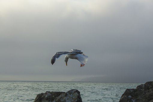 Seagull, Birds, Flying, Nature, Wings, Sky, Feather