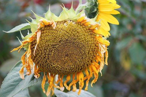 Sunflower, Blossom, Bloom, Hanging, Close Up