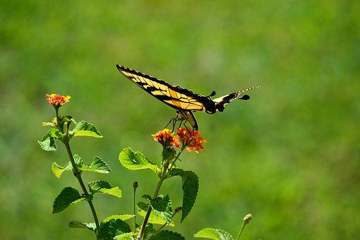 Swallowtail Butterfly, Flying, Butterfly Garden, Insect