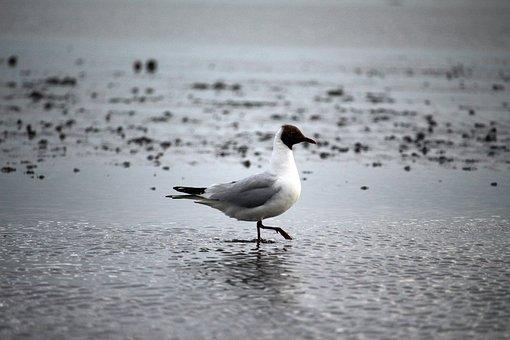 Seagull, Watts, North Sea, Wadden Sea, Ebb, Birds