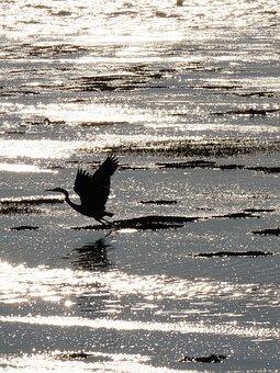 Heron, Bird, Sea, Nature, Water, Beak, Wings, Plumage