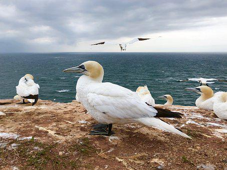 Northern Gannet, Bird, Animal, Feather, Water Bird