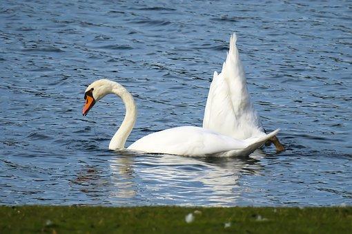 Swan, Beams, Swim, Lake, Butt, Water Bird, Bird