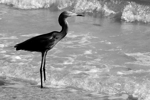 Egret, Bird, Wildlife, Nature, Ocean, Wading, Waterbird