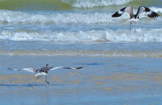 Water Bird, Ocean, Waves, Skimmer, Sea, Birds, Flying