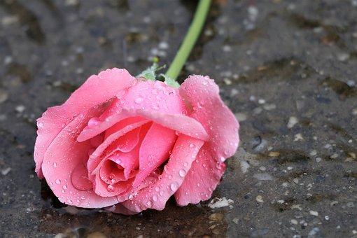 Pink Rose, In Water, Drops, Wet, Rain, Flower, Summer