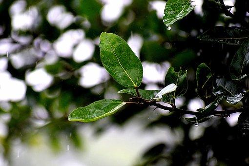 Rain, Wet, Leaves, Water, Raining, Drops, Nature
