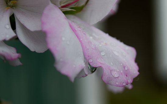 Water, Drop Of Water, Blossom, Bloom, Pink, Drip, Wet