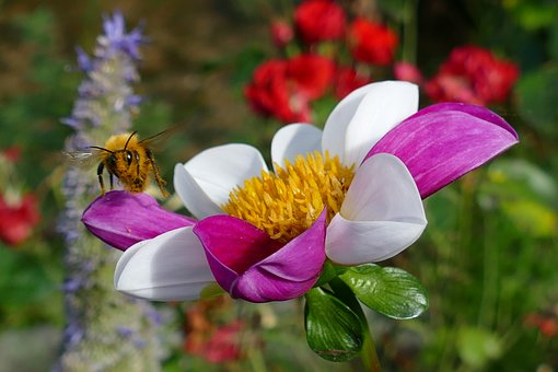 Flower, Flora, Dahlia, The Two-tone, Purple, White, Bee