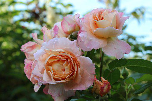 Rose, Floribunda, Pink, White, Romantic