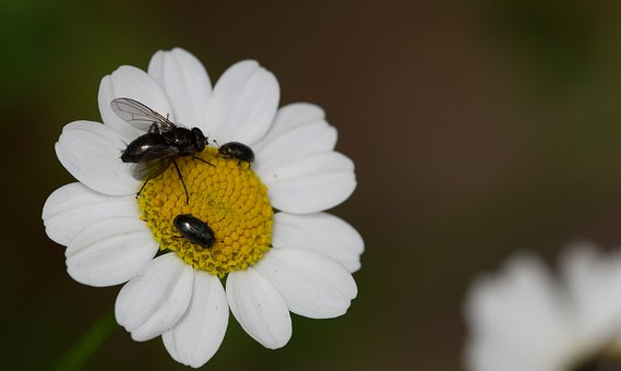 Daisy, Fly, Yellow, Beetle, Black, White, Flower