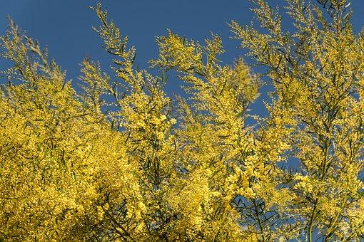 Acacia, Wattle, Flowers, Yellow, Fluffy