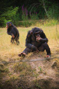 Monkey, Animal, Africa, Zoo, Horns, Wild, Safari