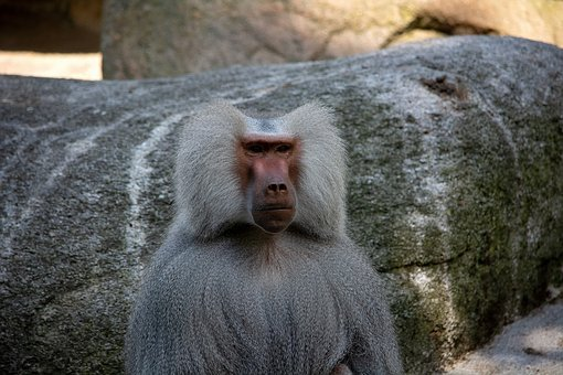 Monkey, Animal, Mammal, Animal World, Nature, Grey