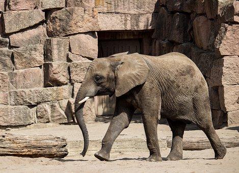 Elephant, Mammal, Young Animal, Animal, Nature, Africa